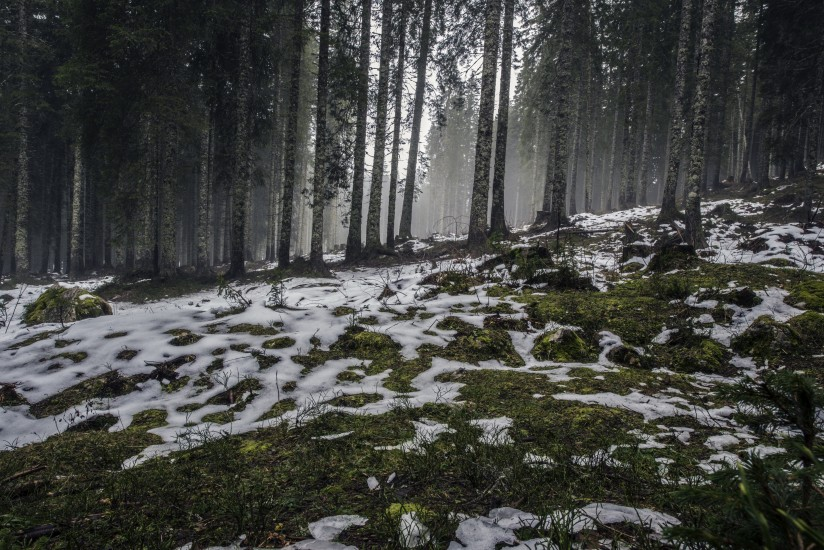forest-nature-snow-4058-824×550