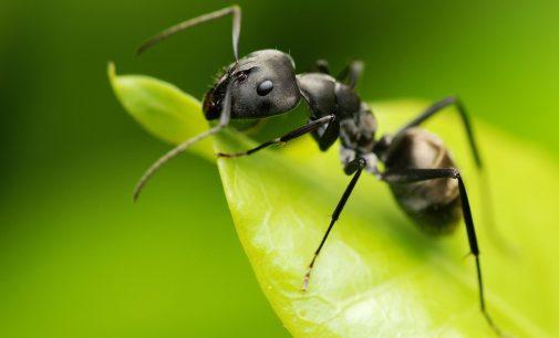 """Semut Bisa Menjadi """"Pabrik Obat"""" bagi Manusia?"""