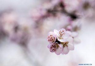 Musim Semi Telah Tiba: Foto Bunga Persik di Kabupaten Pinglu, Provinsi Shanxi, China Utara