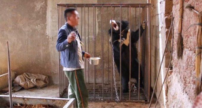 Pria China Ini Menganggap Anak Beruang Hitam Asia Sebagai Anak Anjing dan Merawatnya Sebagai Hewan Peliharaan