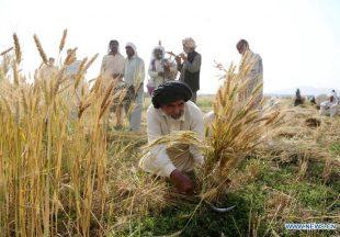 Musim Panen Gandum Dimulai di Punjab, Pakistan